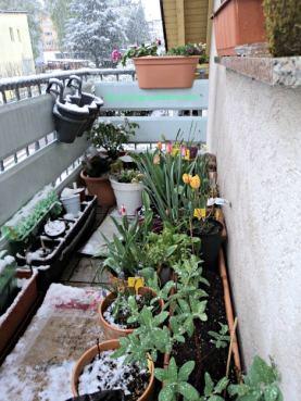Balkon Depan banyak tulip sudah bermekaran