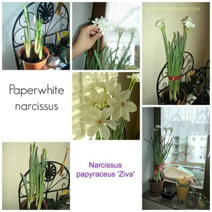 Paperwhite narcissus Ziva. Khusus ini ditanam dalam rumah. Multiflora dan harum sekali