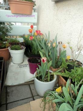 Tulip-tulip di balkon depan