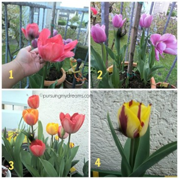 sesuai nomernya tulip xxl Van Eijk, tulip xxl purple, darwin hybrid tulips dan tulip Helmar