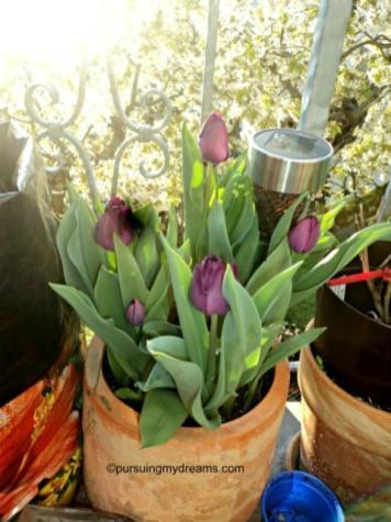tidak tahu tulip hitam atau ungu
