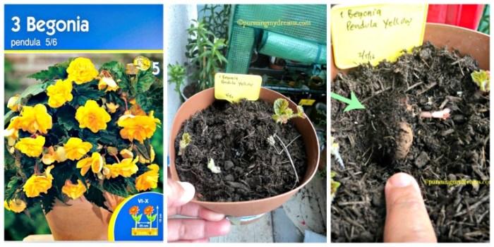 Begonia pendula Kuning sudah mulai tumbuh. Umbinya nanam miring ya Foto 1.06.2016