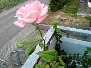 Mawar pink ku beli tahun lalu masih awet
