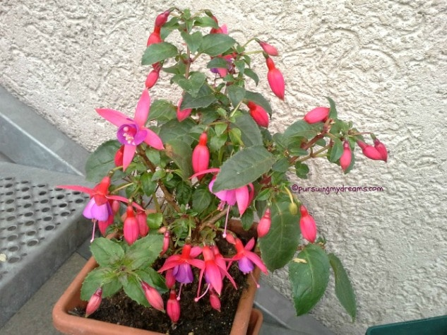 Fuchsia di Indonesia dikenal juga sebagai bunga anting anting. Ramai nih bunganya