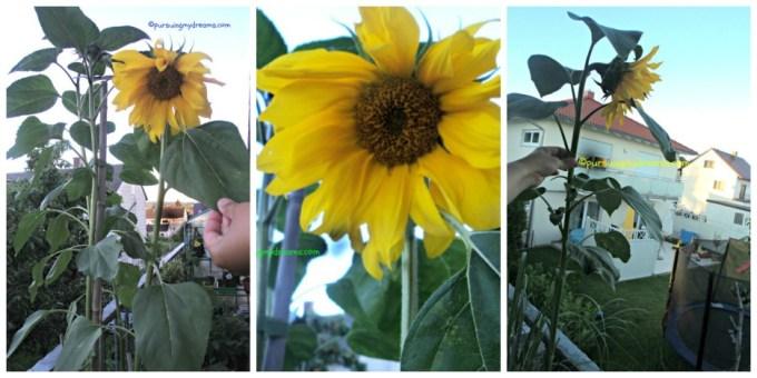 Sunflowerku, keberatan bunganya jadi nunduk. Semua sun flowernya lebih tinggi dari badan saya