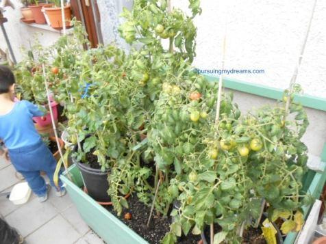 Tanaman tomat-tomatku waktu bulan Oktober 2016. Subur sekali kan