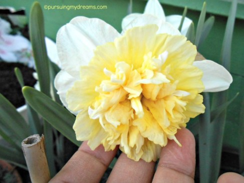 Narzisse Double Ice King (Narcissus Hybrid)