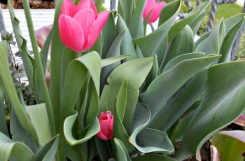 pink flower tulips