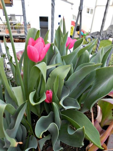 Cantiknya Tulip Pink
