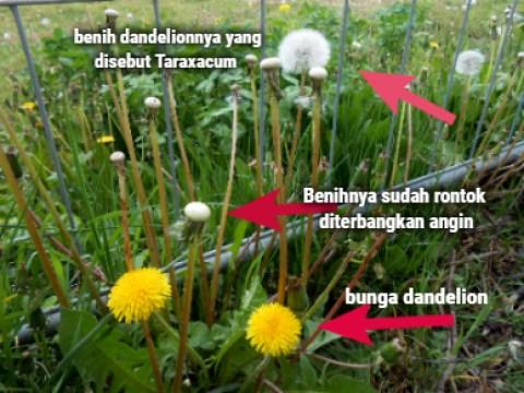 Bunga Dandelion, benihnya, dan benihnya yang sudah rontok diterbangkan angin