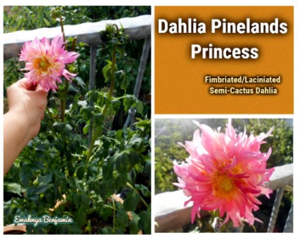 Dahlia pinelands princess nanam dari umbinya