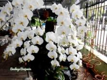 bunga anggrek bulan warna putih