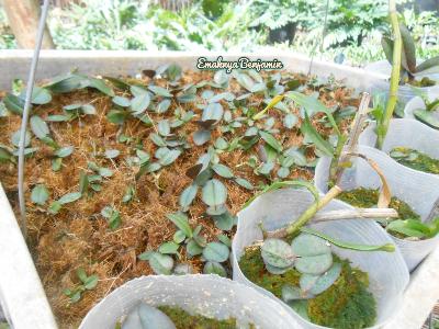 seedling anggrek bulan