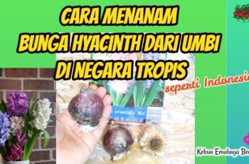 Cara Menanam Bunga Hyacinth di Indonesia