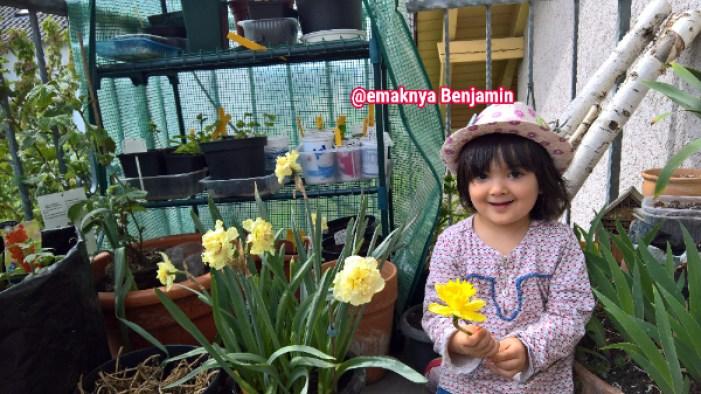 Bunga Narsis atau dafodil (Narcissus) yang telat nanam