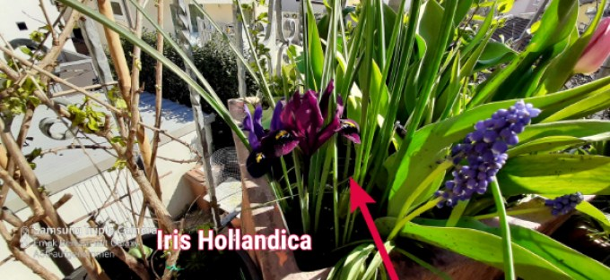 Menanam bunga iris hollandica