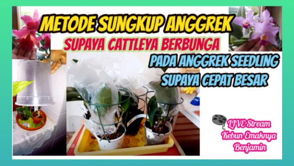 Metode Sungkup Pada Anggrek Cattleya dan Seedling Bikin Anggrek Berbunga dan Subur