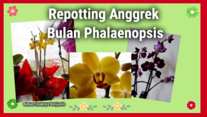 Mengganti Media Tanam Anggrek Bulan Phalaenopsis