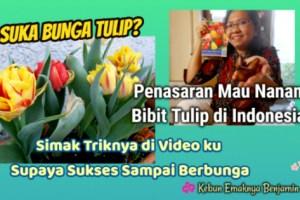 Cara Menanam Tulip di Negara Tropis Seperti Indonesia