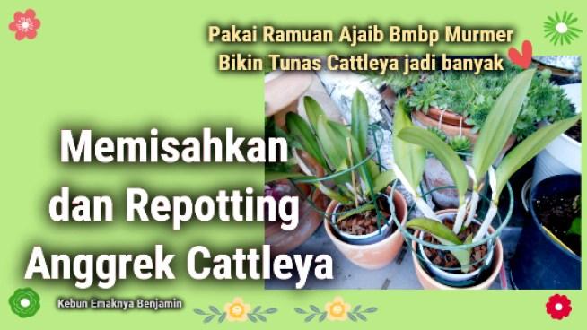 Memisahkan dan Repotting Anggrek Cattleya Agar Berbunga