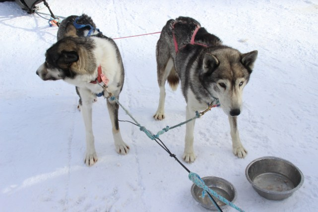Where to experience the best dog sledding