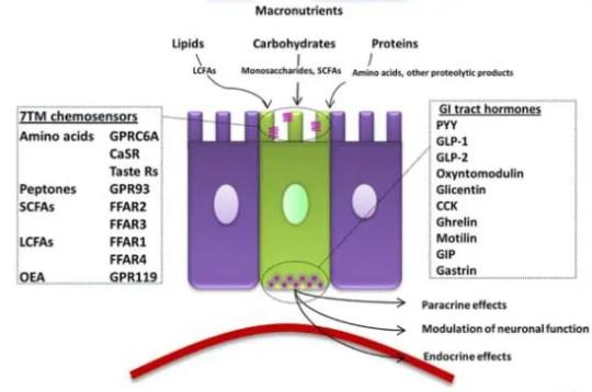 enteroedocrine cells