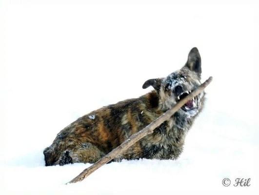 Foxi (15)
