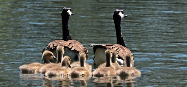 mr-and-mrs-mustard-riddle-geese-family