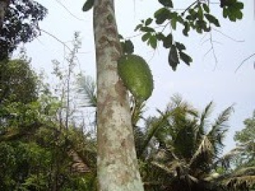 Pic SourSop tree by Rijin Thoma