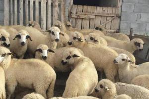 Otkup jagnjadi zakasnio, stočari trpe štetu
