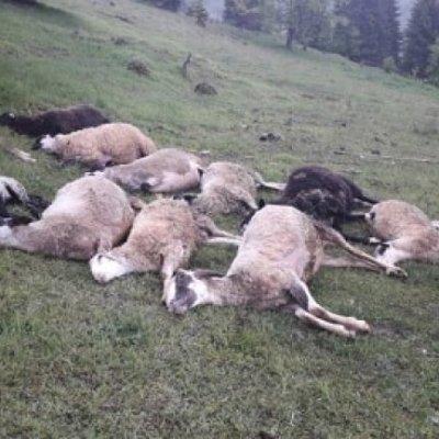 U bjelopoljskom selu grom usmrtio 13 ovaca