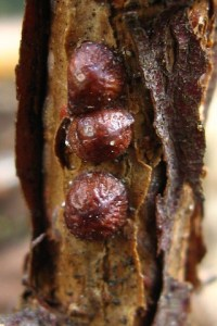 Brown scale insects on Pyracantha