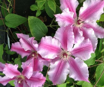 picture of clematis ooh la la clematis for planting and pruning