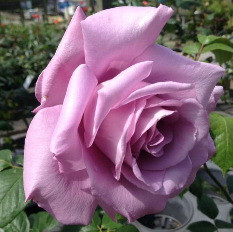 when to plant a climbing rose