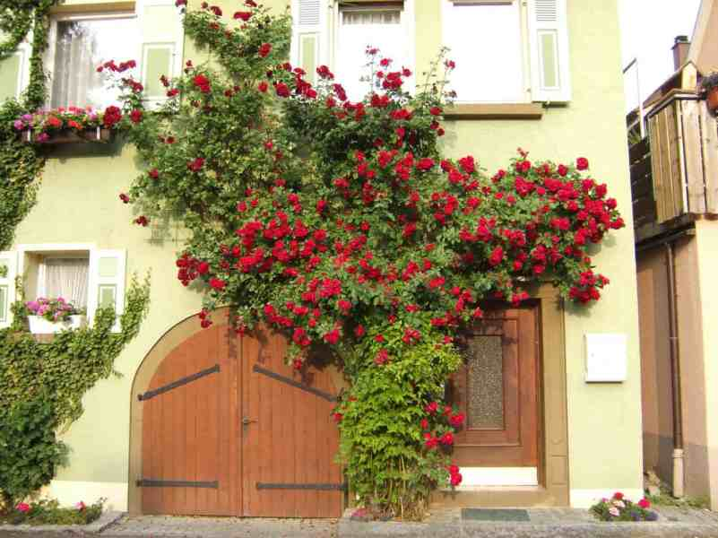 when to plant climbing rose
