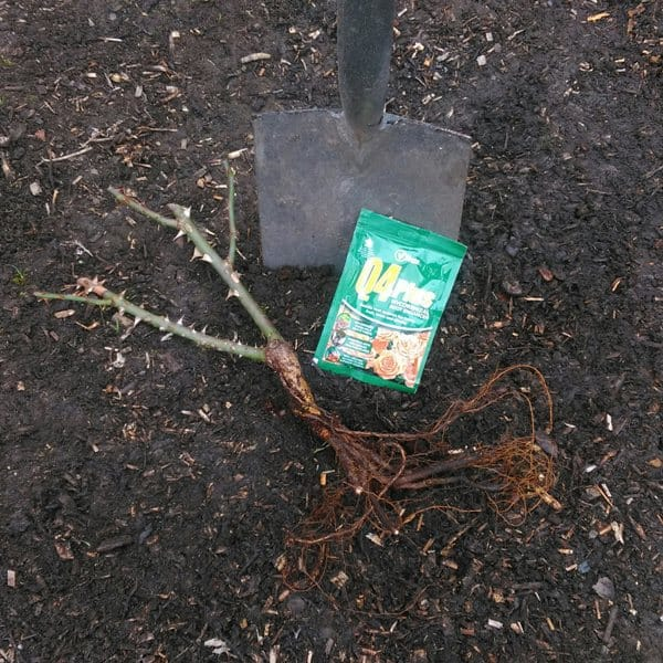 how to plant bare root rose step1