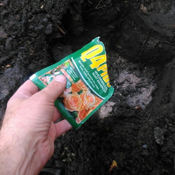 how to plant bare root rose step3