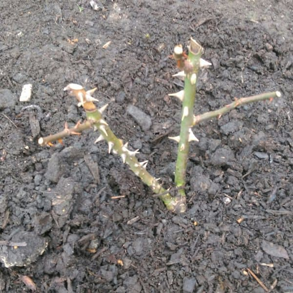 how to plant bare root rose step5
