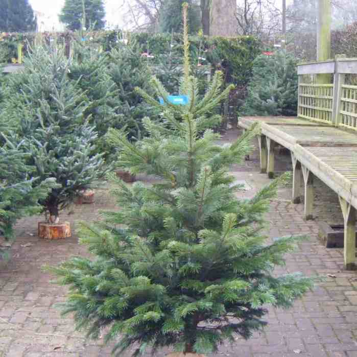 Which are the best types of Christmas tree | pyracantha.co.uk