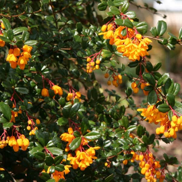 Berberis darwinii can be lightly pruned after flowering in spring to remove dead flowers