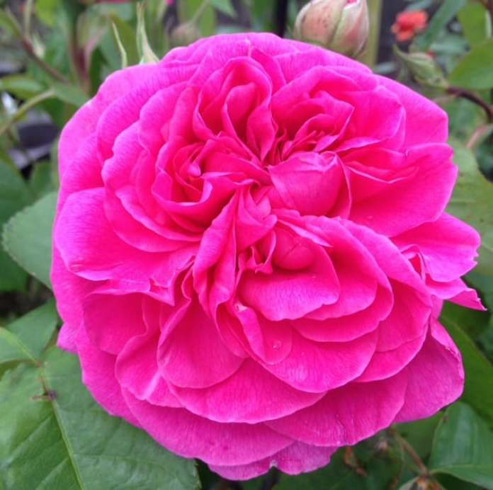 GERTRUDE JEKYLL OLD ENGLUSH ROSE
