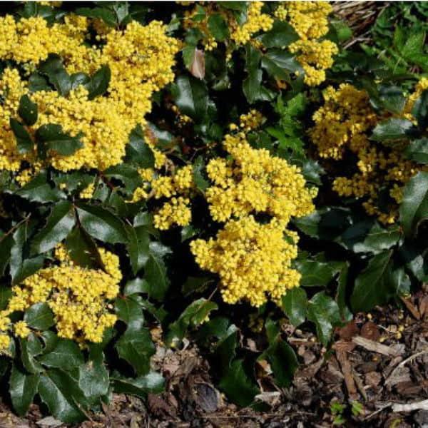Mahonia apollo spring flowering evergreen ground cover shrub