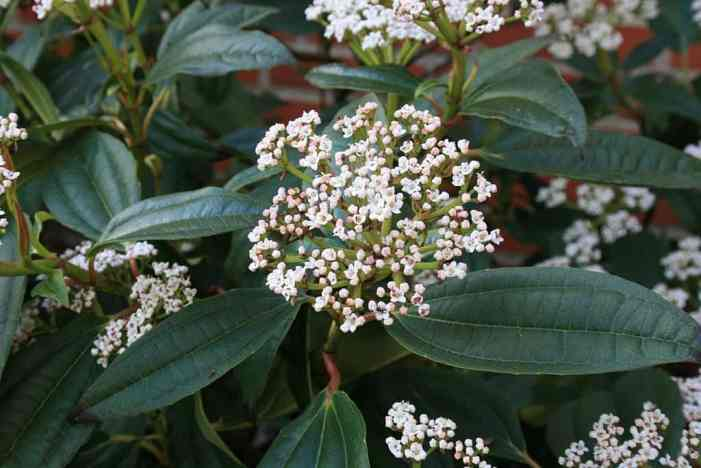 Viburnum davidii produce white flowers in summer