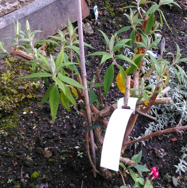 A Buddleia davidii that has been pruned to around 2ft tall. Prune back the previous years growth.