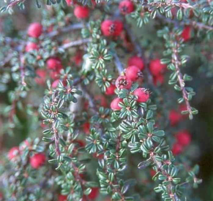 cotoneaster microphyllus evergreen shrub