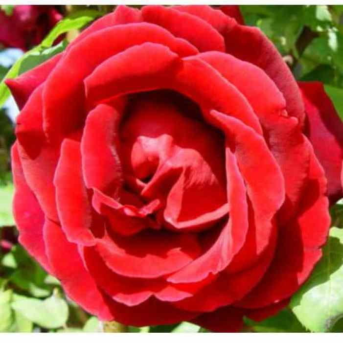 hybrid tea rose - different types of roses