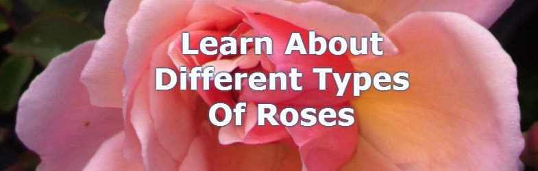 Types of roses – Learn about the different roses available