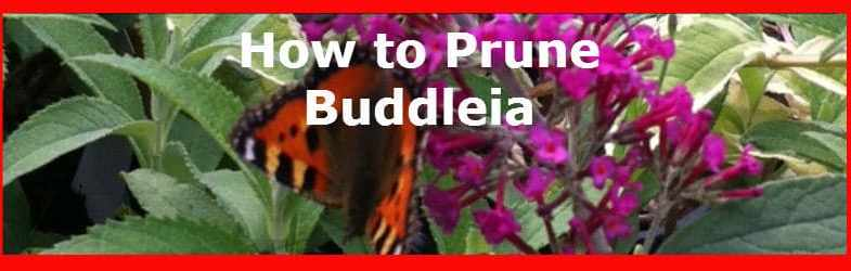 Pruning Buddleia – When and how to prune for a better flowering plant