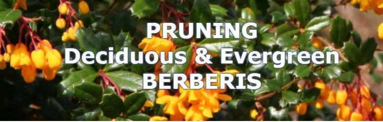 Pruning Berberis – Evergreen and Deciduous Barberries
