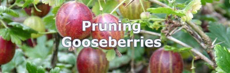 Pruning Gooseberries – Pruning as bushes or wall trained cordon
